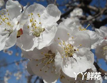 杏花的价值及作用