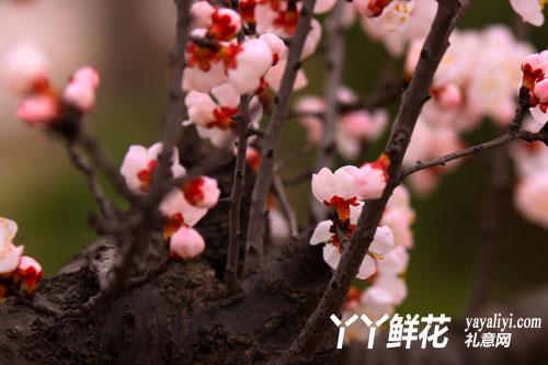杏花树的病害防治
