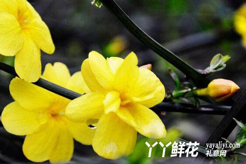 迎春花的养护