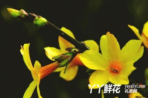 迎春花的品种分类
