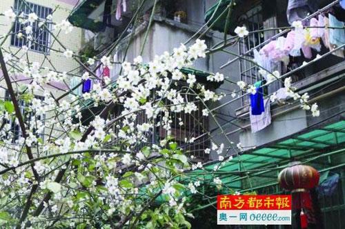 腊月赏梅去 广州梅花村百余株梅花已开放3成