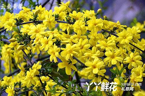 迎春花和云南黄馨的区别
