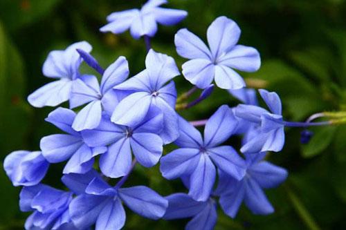 蓝雪花的形态特征