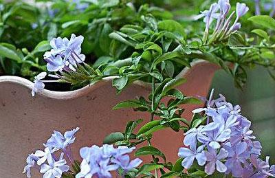 蓝雪花的盆花管理