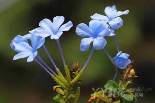 蓝雪花的养殖方法