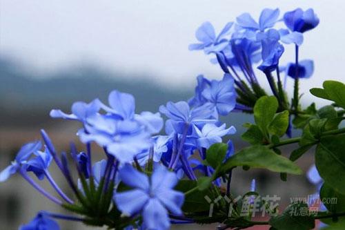 蓝雪花的繁殖方式