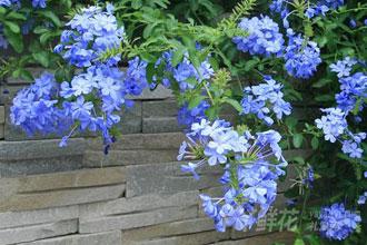 蓝雪花的品种分类