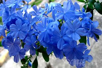 蓝雪花的花语