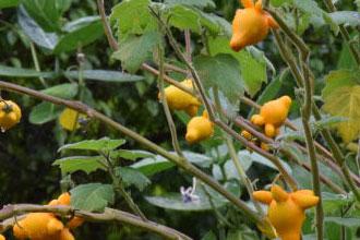 乳茄的生态习性