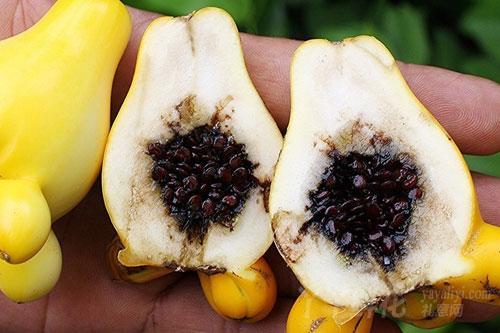 乳茄的繁殖方式