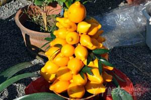 乳茄的园林用途