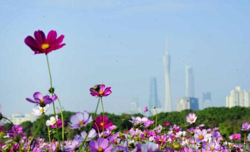 紫荆、格桑花、月季……赏花美图刷爆广州朋友圈