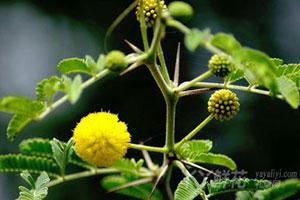 金合欢的植物文化