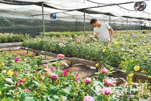 云南通海:花卉六成销往海外