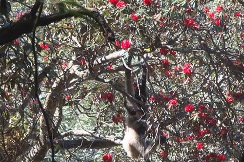 普洱景东:无量山大寨子长臂猿享受春天的百花大餐