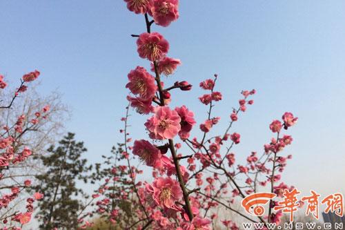 西安春来早 大明宫附近花红柳绿花树陆续盛开