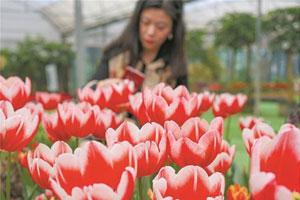 武汉春季鲜花不断档 郁金香映山红相继盛开