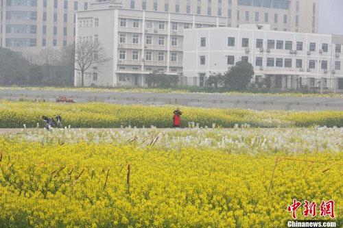 武汉一高校内油菜花开 形成一片金黄色花海