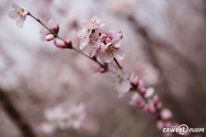 西安市明秦王墓周围300亩山桃花盛开