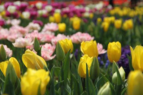 武汉植物园郁金香花展开幕 60万株鲜花怒放