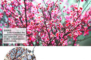 第19届青岛梅花节16日开幕 70岁以上免费入园