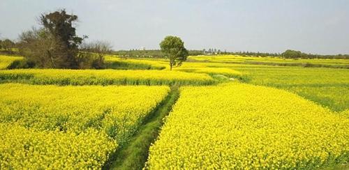 南京高淳万亩油菜花盛开 孕育农民创富希望