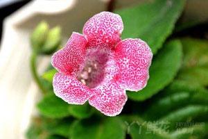 岩桐花的五种繁殖方式