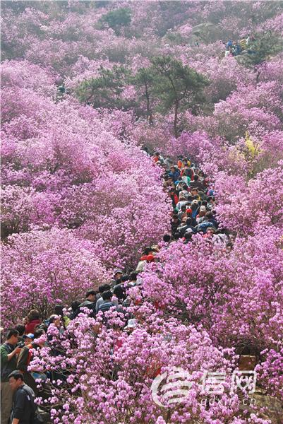 青岛:大珠山杜鹃花会4月1日开幕 花会歌会打造新体验