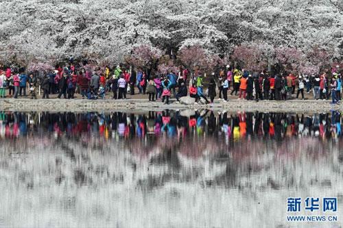 北京玉渊潭公园2400余株樱花盛放