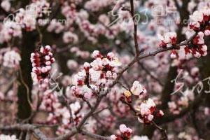 """青岛:山野乡村春花烂漫宛如""""世外桃源"""""""