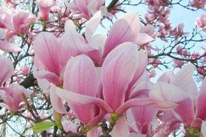 玉兰花的繁殖方式