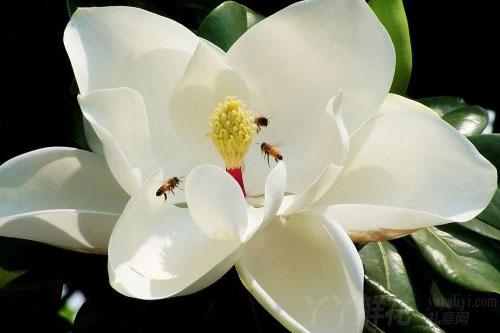 玉兰花的病害防治