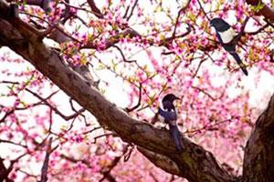 北京平谷第十九届国际桃花音乐节开幕