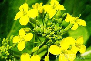 油菜花的形态特征