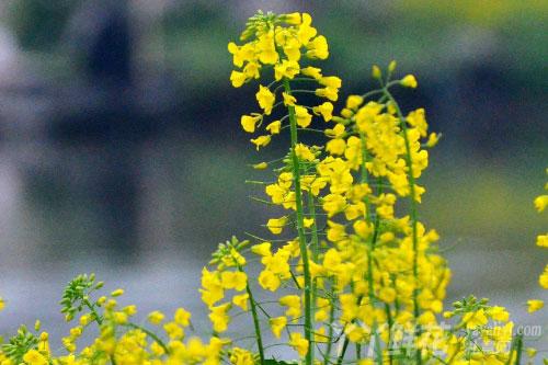 油菜花的生态习性