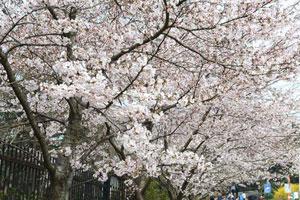 中山公园樱花本周末迎盛花期 青岛赏樱攻略奉上