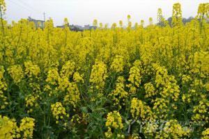 油菜花的养殖方法