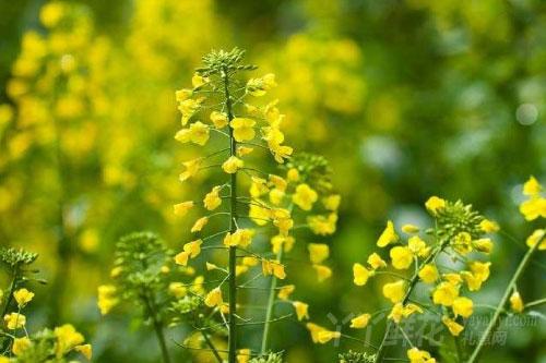 油菜花的病害防治