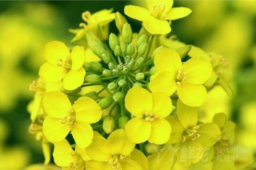 油菜花的花语