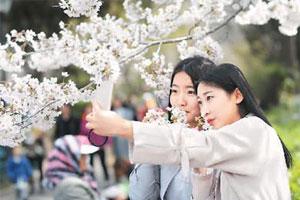 青岛:樱花大道变花海