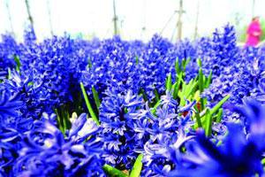 青岛世博园花海节开幕 数百种欧洲名贵花卉亮相