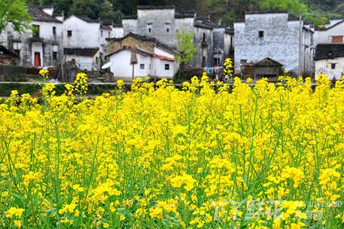 油菜花的园林用途