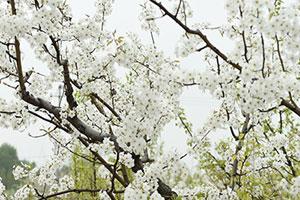 北京:万亩梨园花盛开