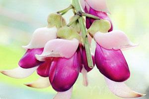 禾雀花的介绍