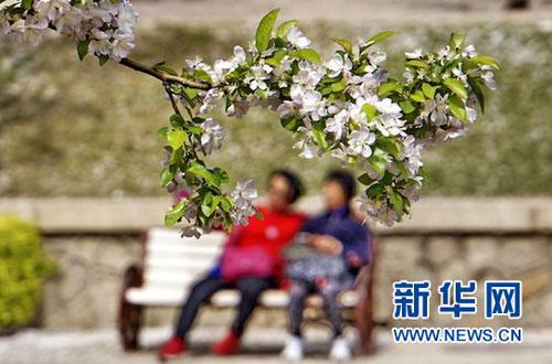 京城海棠花盛开