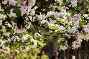 北京城海棠花盛开