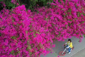 南宁:鲜花大道引客来