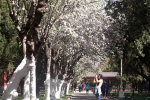 北京中山公园海棠花开放