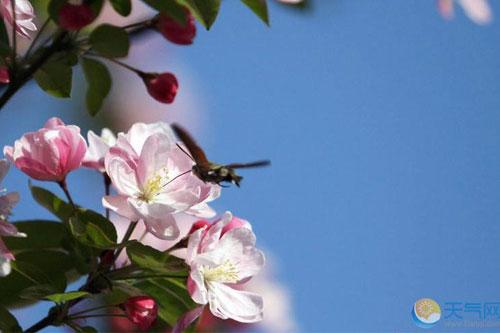 石家庄海棠花绽放 在世纪公园等你观赏