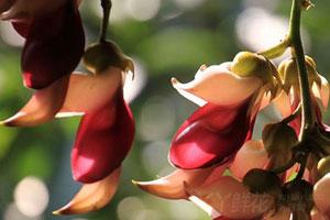 禾雀花的品种分类